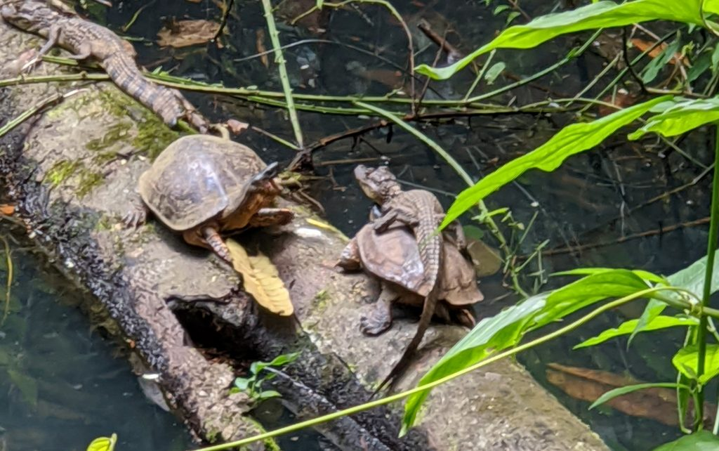 Caymen turtle